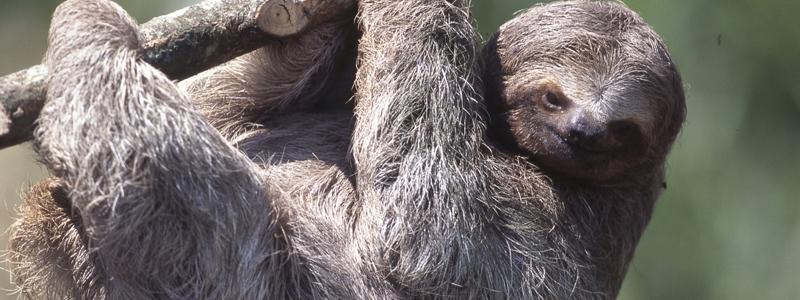 オオナマケモノ:コスタリカ